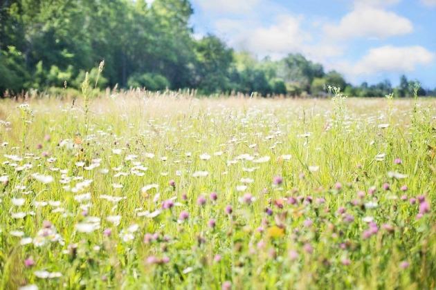 wildflowers-817181_960_720.jpg